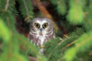 adorable-owl